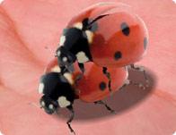 Ladybug Mating Game